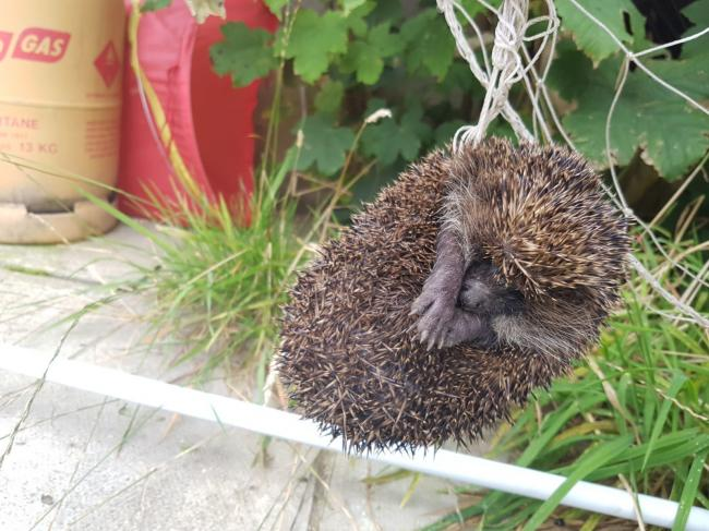 The RSPCA are ready for a 'hectic hedgehog' this month