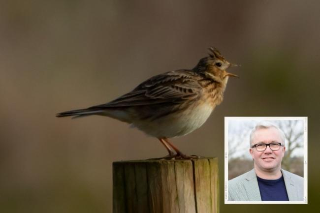 The skylark population has more than halved since the 1990s