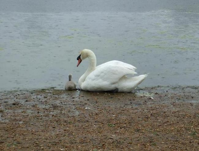 The lone swan and his son in the days following the dog attack (Photo by Andrew Gammie, City of London)