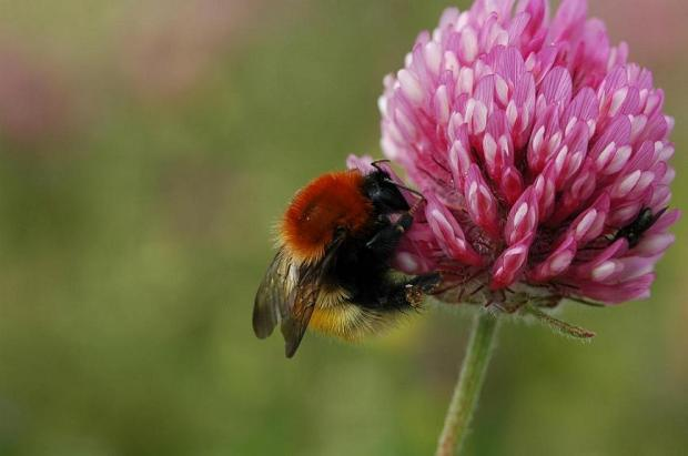 A Moss Carder Bumblebee. Photo courtesy of the Bumblebee Conservation Trust.