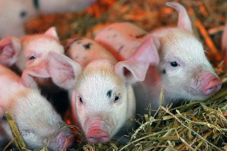 Some of the Gloucester old spot piglets