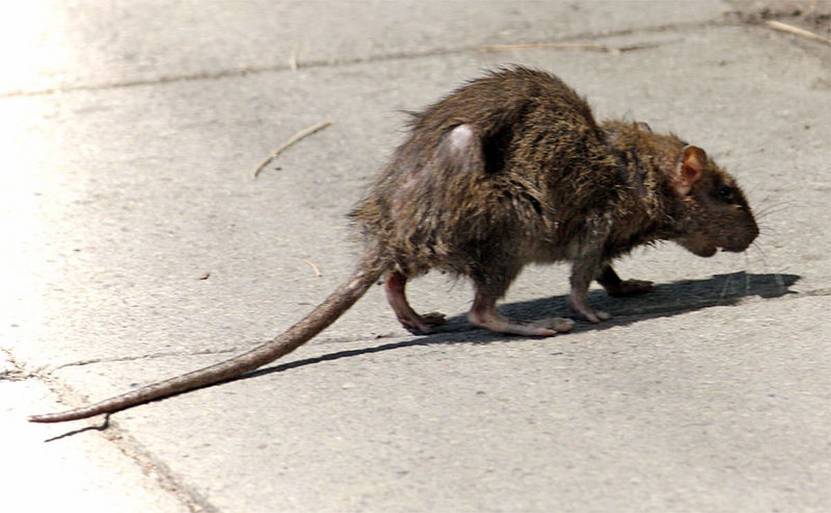 Increased numbers of rats have been seen near Maynard Court in Waltham Abbey