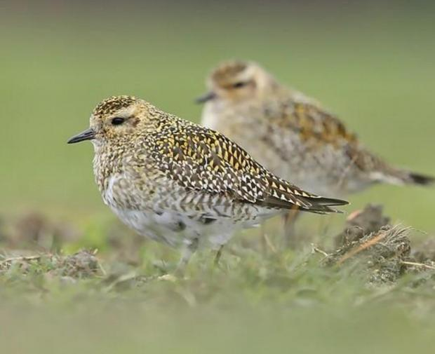 East London and West Essex Guardian Series: A Golden Plover: 135 different bird species were reported last year in Wanstead