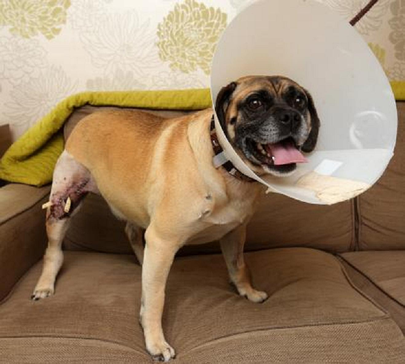 Henry, a puggle, needed 147 stitches after being attacked by a bulldog