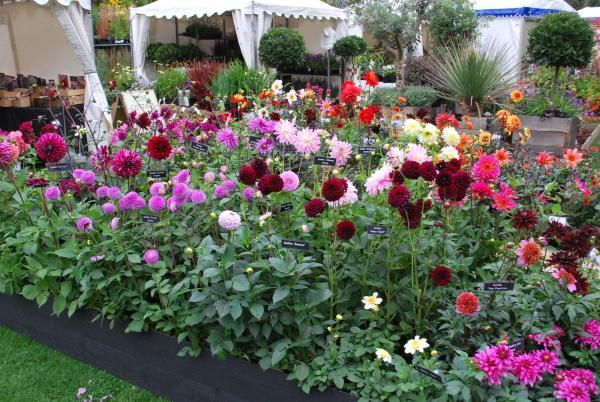 A range of dahlias at Rose Cottage Plants Nursery.