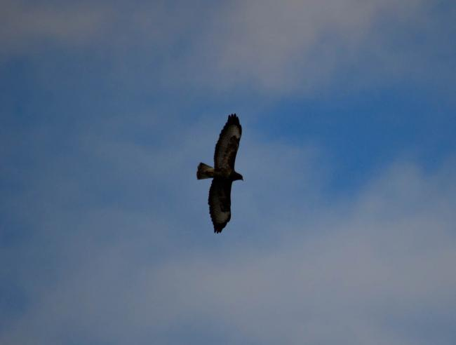 A buzzard captured over Yates's meadow