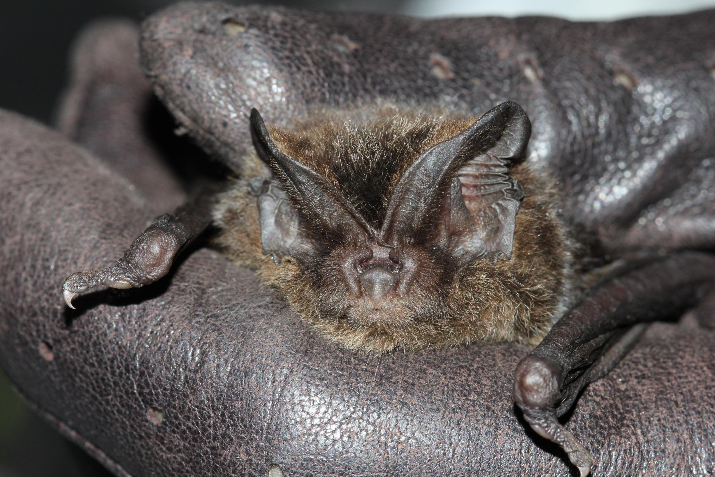 The Barbestelle Bat has not been seen in London since the late 1950s