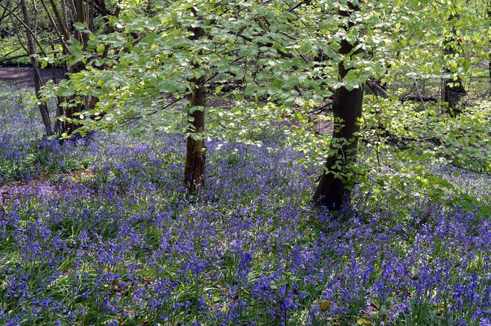 Lynda Bullock posted a picture in the Watford Observer Camera Club of Bluebells in Long Valley Wood near Croxley.