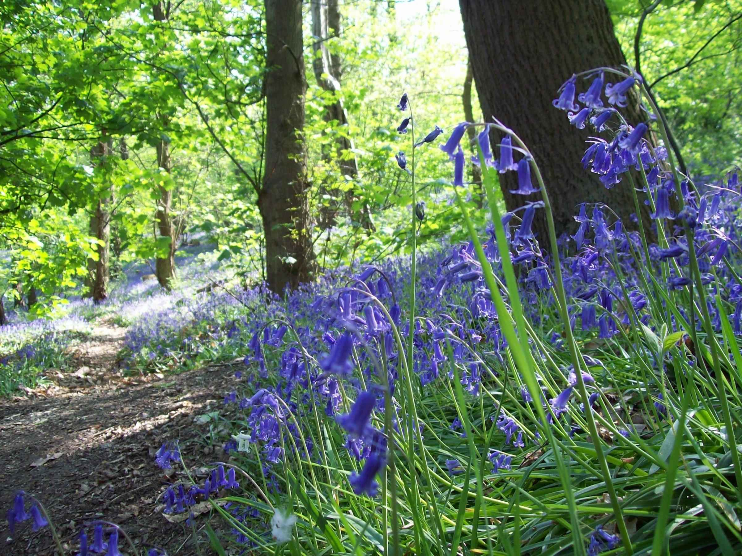 Head over to Hainault Forest Country Park this weekend for you last chance to catch a glimpse of this year's bluebells. Photo: Michelle Blackburn.