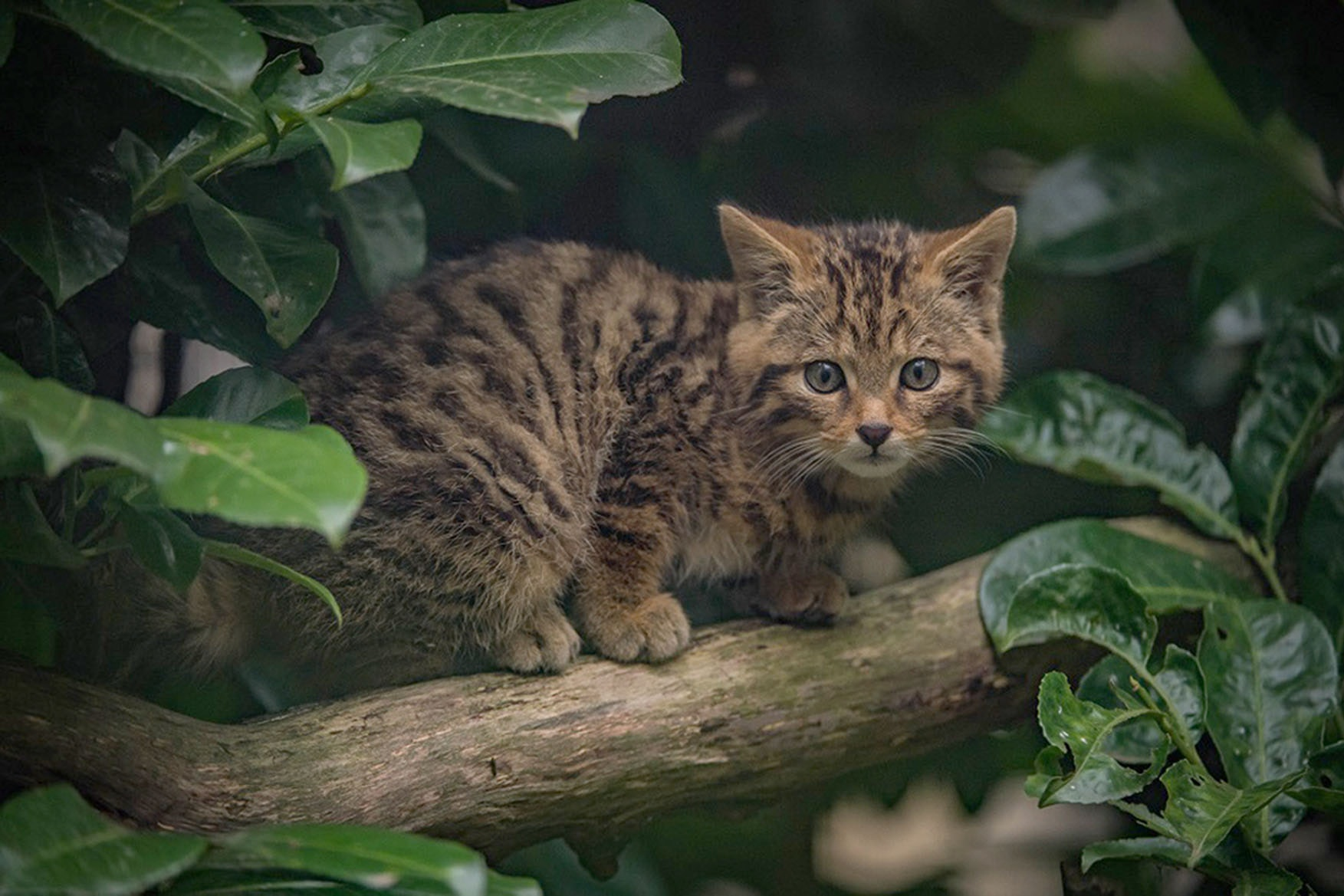 Scottish wildcat born at Chester Zoo