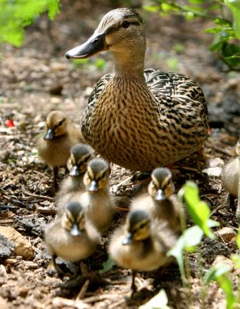 CHIGWELL: Mother and her ducklings mowed down by Mercedes